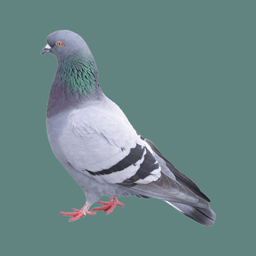 Lost Pigeon…