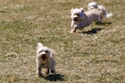 The 3 Dogs Running