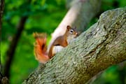 Red Chipmunk in a Tree