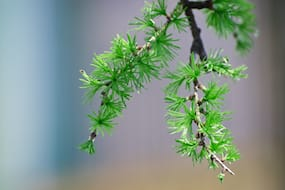 Larch in the Spring